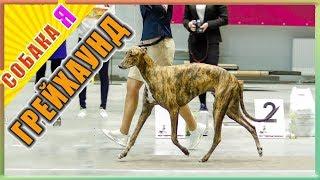 Грейхаунд выставка собак всех пород собака я