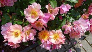 Мой сад в Бельгии в июне.