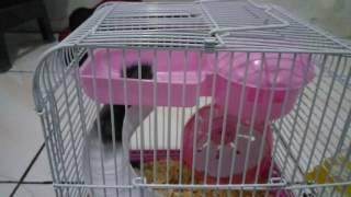 Hamster lucu.. Aktif pas kasih makan kacang