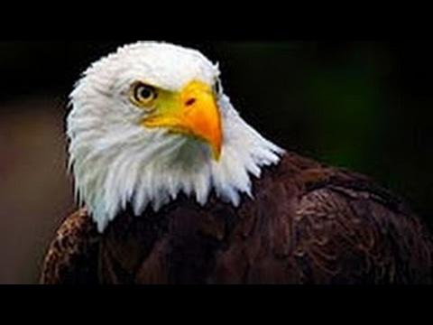 Documentales El águila cazando real Americana Documental de animales discovery channel HD - ric Pro