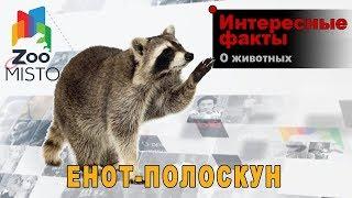 Енот-полоскун - Интересные факты о млекопитающем    Млекопитающее енот-полоскун
