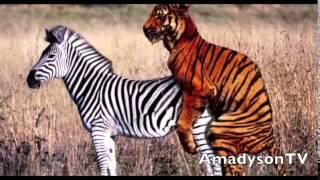 Gay Tiger (eşcinsel Kaplan)