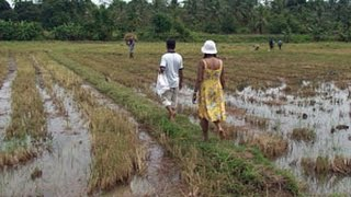 Reisfeld in Sri Lanka  Ein Nachmittag
