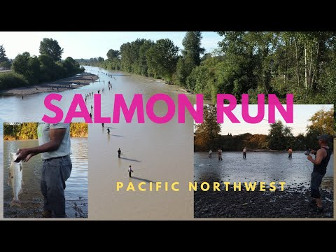 Salmon Season On The Puyallup River - See Salmon Run In Washington