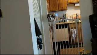 Beagle Mix (jack-a-bee) Jumping A Tall Baby Gate!