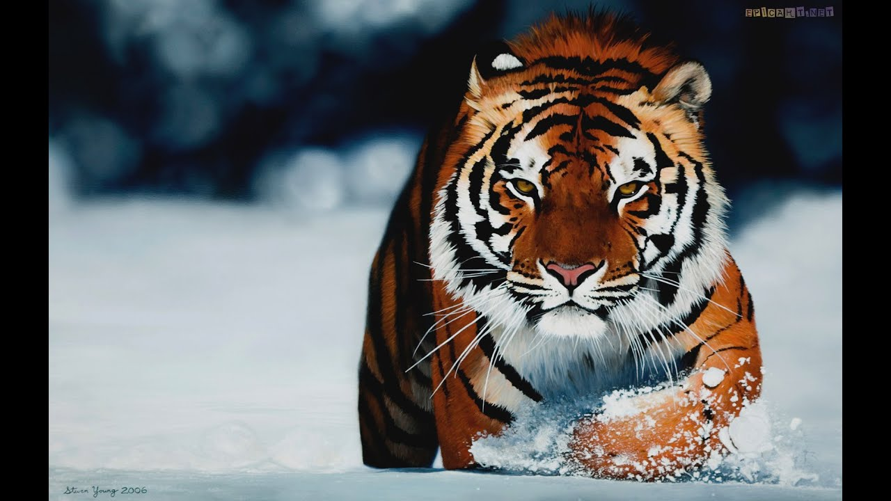 tigers live wallpaper - youtube