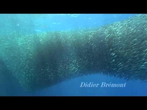 Les Sardines De Moalboal Ile De Cebu Philippines Dolphin House Youtube
