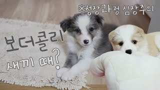 Border Collie's Growth Process from Baby to Now! *HOLD TIGHT YOUR HEART