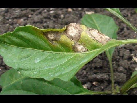 मिर्च के मुख्य रोग (Cercospora leaf spot & Powdery mildew)