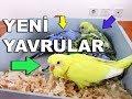 Muhabbet Kuşu Yavruları Hangi Renk Olur Kime Benzer mp3