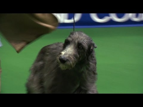 Hound group - Midland Counties Championship Dog Show 2013