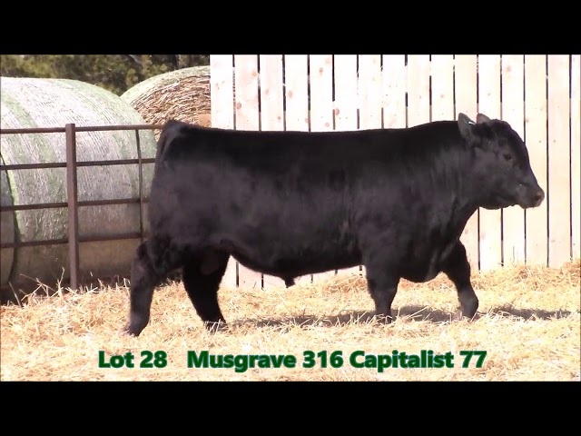 Musgrave Angus Lot 28