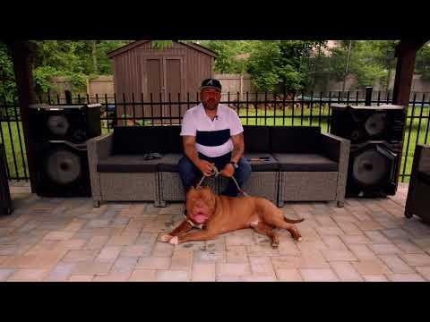 Danny Cervantes: XL American Bully Breeder | New Jersey