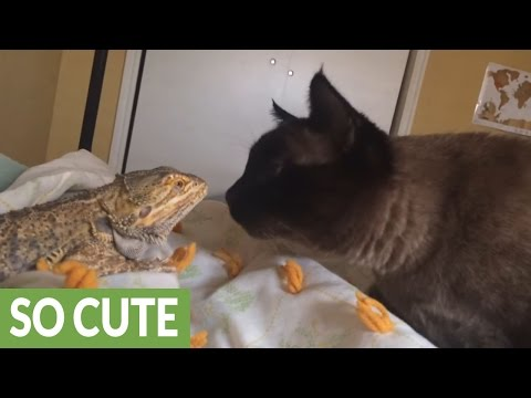 Cat and lizard share unlikely animal friendship