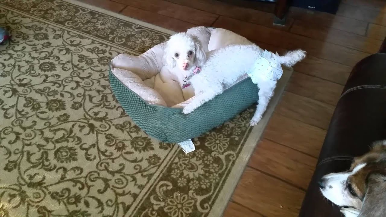Toy Poodle In Heat Youtube