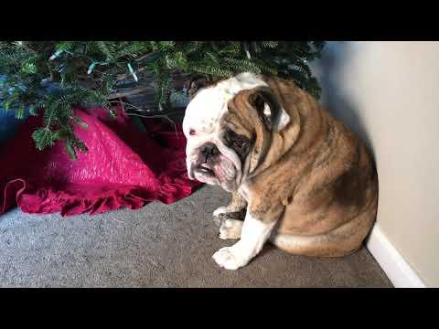 Reuben the Bulldog: Smells Like the Holidays