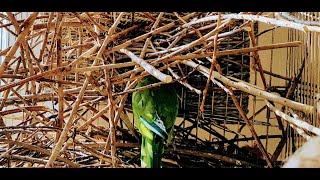 гНЕЗДО ПОПУГАЯ КВАКЕРА ИЗ ВЕТОК ИВЫ(ЧАСТЬ 5) / Quaker parrot nest (part 5)