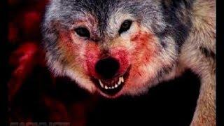 Жертвы волков.Волки людоеды. The victims of wolves.Wolves are cannibals