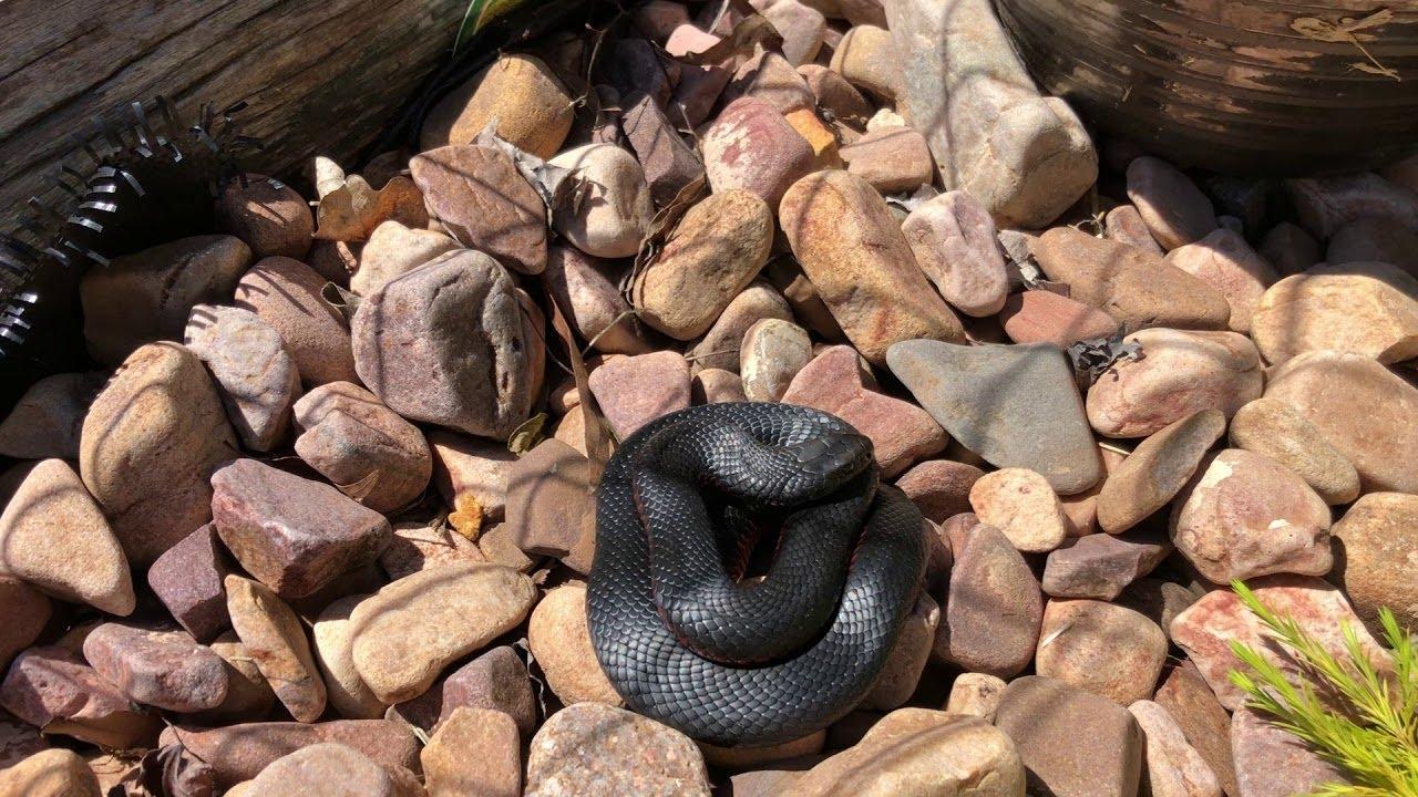 red-belly-snake-found-under-plant-pot-viralhog