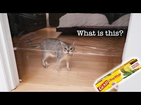 Abyssinian cats react to INVISIBLE CHALLENGE | CUTE CAT CLEO