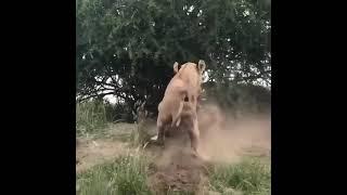 Aslan av peşinde