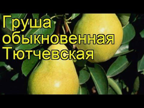 Груша обыкновенная Тютчевская. Краткий обзор, описание характеристик pyrus communis Tiutchevskaia