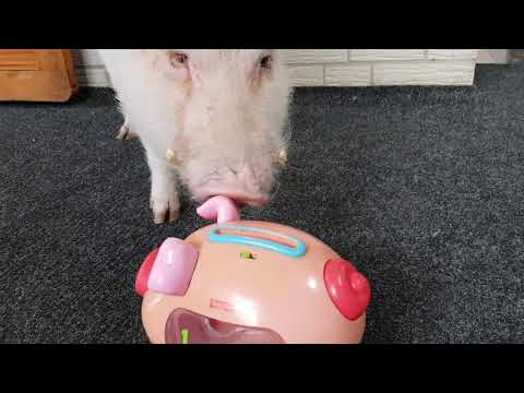 Minipig  moritz puts money into piggy bank