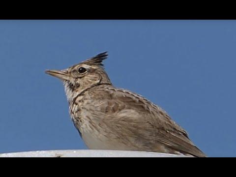 Ptice Hrvatske - Kukmasta ševa (Galerida cristata) (Birds of Croatia - Crested Lark) (1/3)