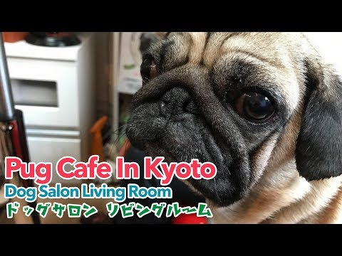 Pug Cafe In Kyoto - Dog Salon Living Room ドッグサロン リビングルーム - VLOG #4