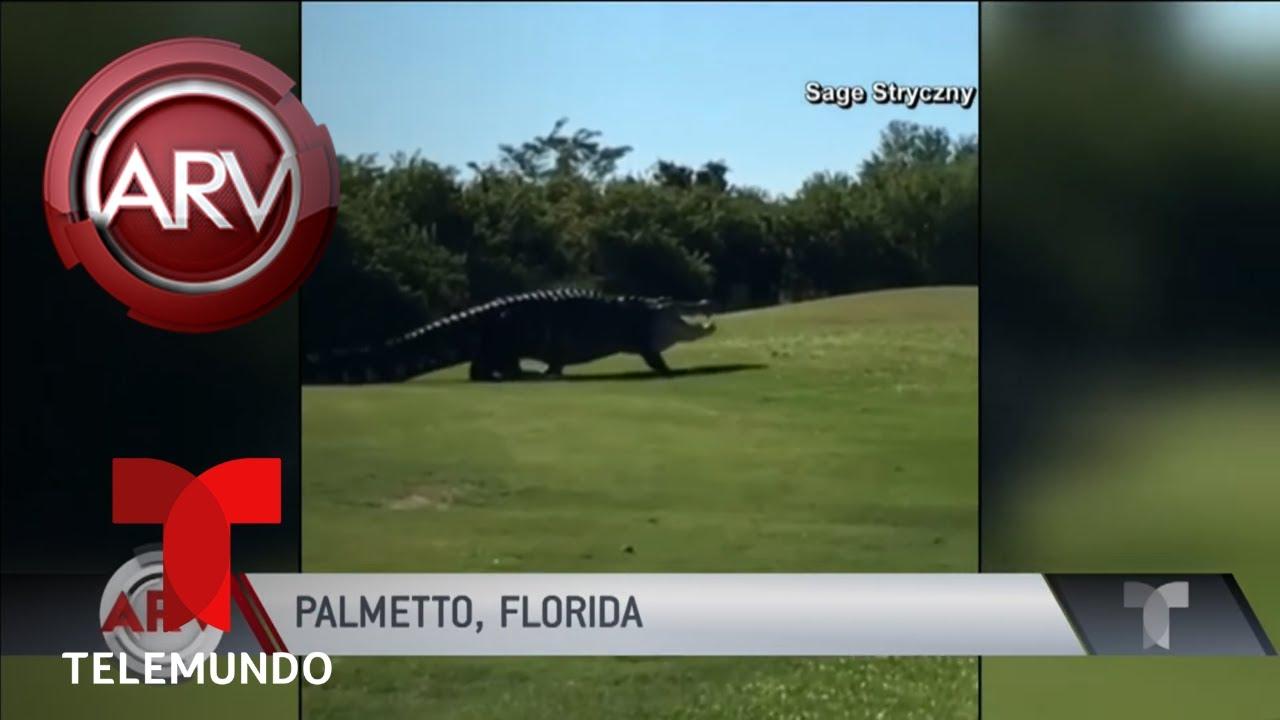reaparece-enorme-cocodrilo-en-un-campo-de-golf-al-rojo-vivo-telemundo