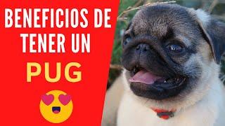 DESCUBRE 7 BENEFICIOS y VENTAJAS de tener un perro PUG