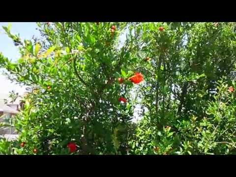 "Lisa's Landscape & Design ""Plant Pick Of The Day"", Owner Lisa LaPaso, Wonderful Pomegranate"