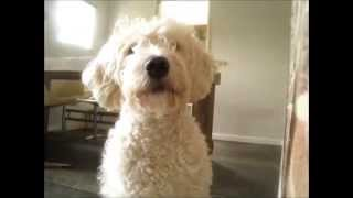 Stalking Dog - A Labradoodle Movie