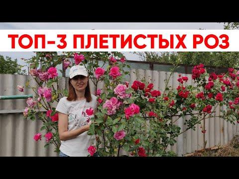 Вопрос: Сорт розы Baby Love какие отзывы, мнения?