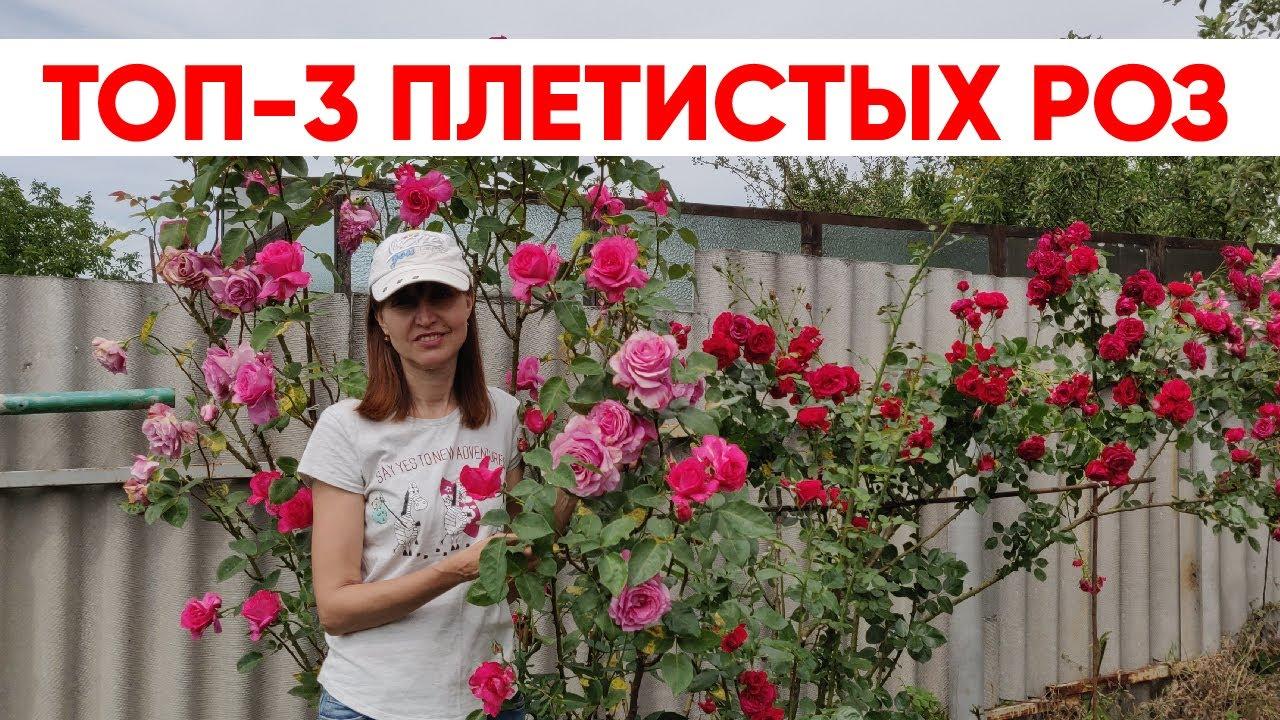ТОП-3 плетистых роз. Выбираем лучшие сорта для дачи