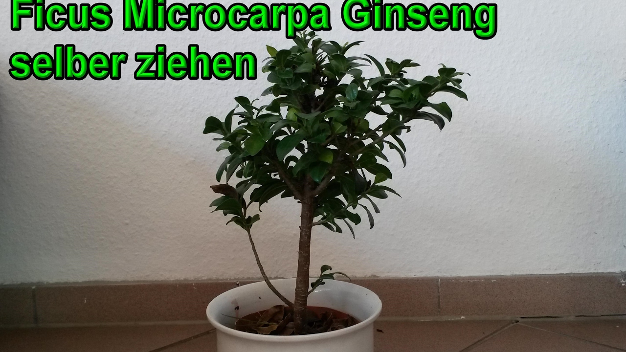 ficus microcarpa ginseng selber ziehen bonsai stecklingsvermehrung youtube. Black Bedroom Furniture Sets. Home Design Ideas