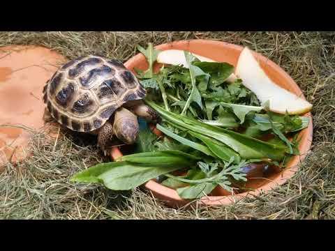 Среднеазиатская сухопутная черепаха. Наша малышка Лето.