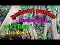 Ditemukan Perkutut Lokal Punden Sendang Girik Usia  Tahun Suaranya Kong Kaya Kutut Usia  Tahun  Mp3 - Mp4 Download
