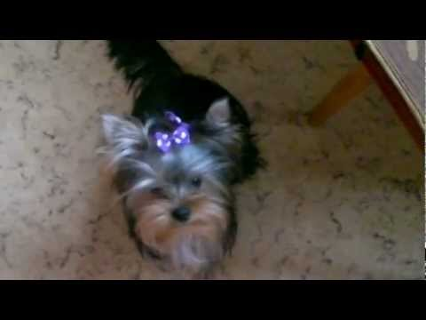Yorkshire Terrier Dexter (Декстер)mp4