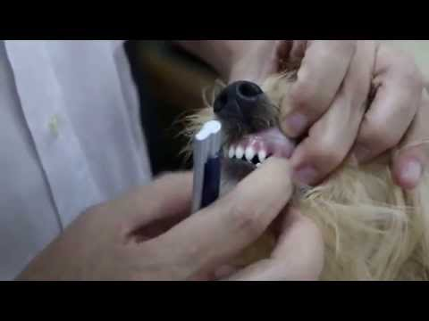 How To Age A Puppy. Teeth Of A 5.5-month-old Puppy