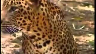 leopard and tiger india deadliest cats national geographic
