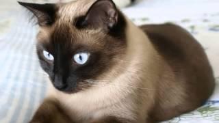 Сиамские кошки показ слайдов 2015!