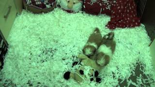 Little Rascals Uk Breeders New Litter Of Shih Tzu Babies