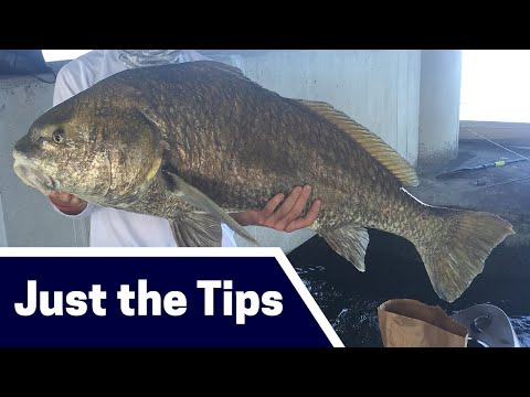 Massive Black Drum Fishing Tips: Where, Bait, And Tackle [Just The Tips]