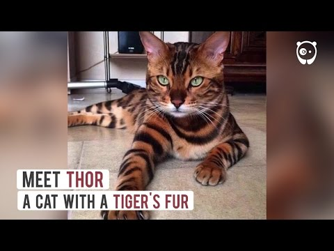 Meet Thor, A Cat With A Tiger's Fur