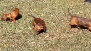 Dachshund Puppies For Sale Linda Shirk B