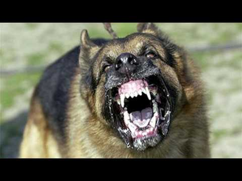 Large Dog Barking SFX Aggressive Loud Dogs 1 Hour High Quality Sound Effects of Canine Barks