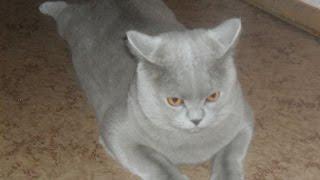 Кот британский видео. Породистые большие коты