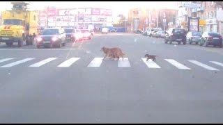 Смотреть всем! Собака учит щенят переходить дорогу. Брянск.