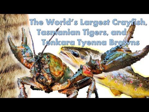 The World's Largest Crayfish, Tasmanian Tigers, And Tenkara Tyenna Browns